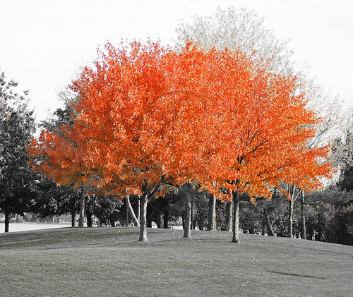 Orillia - Autumn Splendor; bright red autumn leaves on trees at Couchiching Beach Park