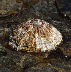 Common Limpet Mollusc (Patella Vulgata) (Gaz-zee-boh) Tags: ireland nature seaside shell seashore limpet mollusc coclare d40 nikond40 almostanything liscannorbay commonlimpet