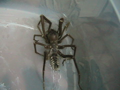 Camel Spider (trident2963) Tags: world camp hairy spider force air united iraq security camel huge states biggest nasty forces bucca