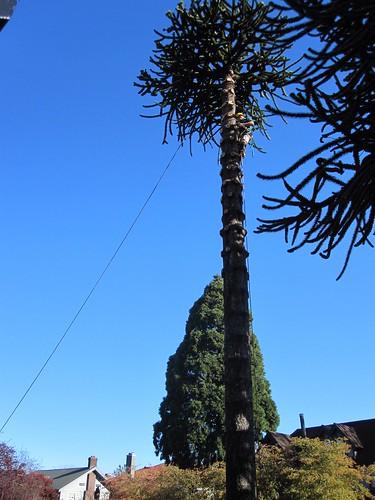 Limbing tree #1