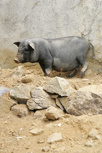 A native black pig of Viet Nam