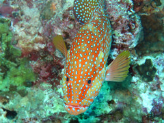 (Andurinha) Tags: redsea diving buceo marrojo bluffpoint