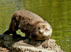 I Love Otters!! (shesnuckinfuts) Tags: nature animals wildlife otters animalplanet backyardpond kentwa june2007 otterfamily shesnuckinfuts wildlifeofwashingtonstate washingtonstateoutdoors impressedbeauty animalencountersscroll timefordinner