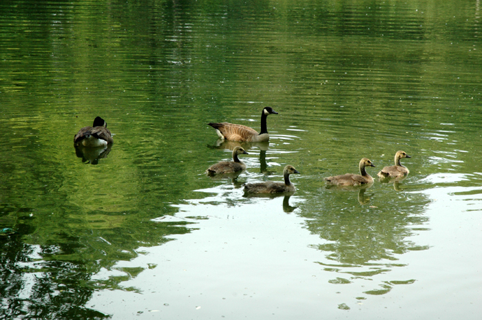lake view geese and goslings