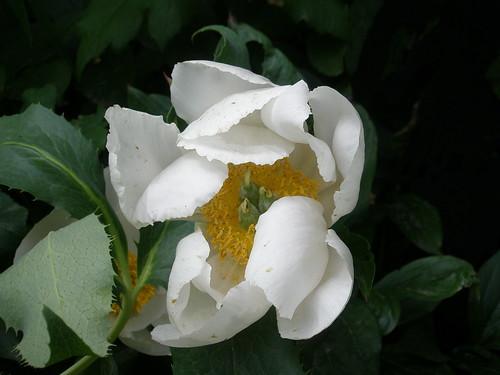 white peony's last dayP6080094