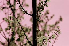 cherry blosom 2