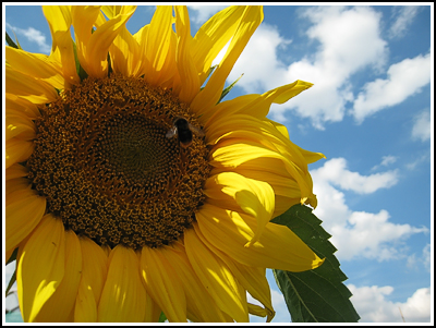 yellow sunflower copy