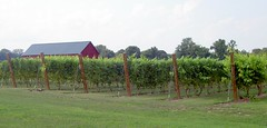 Connecticut Grape Vineyard (rich66 ~~) Tags: plant tree barn landscape vineyard wire farm connecticut newengland grapes poles hedgetrimmer grapevineyard simsburyct rosedalefarm