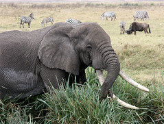 Big elephant (yewco) Tags: africa elephant tanzania pond eatinggrass littlelake   ngorongoroconservationarea ngongoro