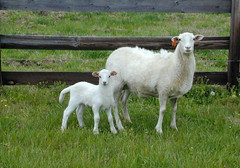 Katahdin ewe and lamb
