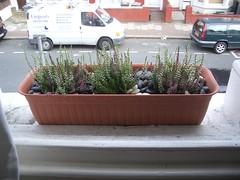 windowbox heather