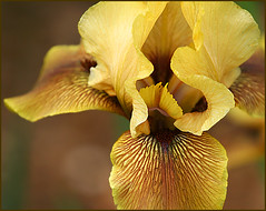 "a2836 Iris ""Catalumya"" (tengtan (away awhile)) Tags: flowers iris fab macro beautiful gardens closeup petals bed blossoms australia melbourne petal lirio blooms lovely botanicgardens excellence iridaceae showy naturesfinest cultivar ultimateshot catalumya auselite colourartaward"