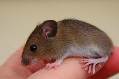 Mouse rescued from the cat