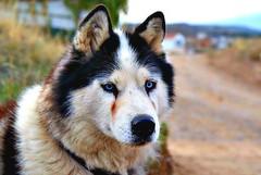 Pose canina (José E.Egurrola/www.metalcry.com) Tags: dog animal cane pose can perro ojos es posh mirada perra canina hocico posado penetrantes huskin