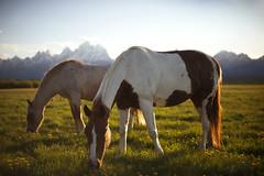 Grazing on the Range (Jamie Betts Photo) Tags: horses jackson wyoming grandtetons frontrange grazing jacksonhole
