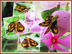 Collage of Potanthus confucius (Chinese Dart, Confucian Dart, Tropic Dart), seen at our flower bed