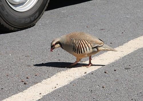 Chukar at Haleakala parking lot