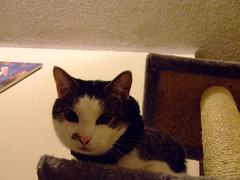 Upside Down? (End of Level Boss) Tags: pet cats cute cat kat feline chat pussy sydney australia domestic gato nsw katze mace cath  macska  gatti kot gat koka kedi kass  2007 katt  kissa kttur maka kucing pusa mo     foofoo kat  kais kogarah   pisic