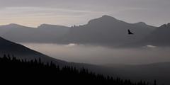 Soaring (sloppyshooter) Tags: morninglight haze hawk glacierpark