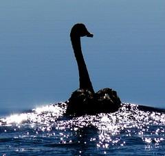 Water sparkle Swan (marlohk) Tags: bird nature water lumix swan bravo view panasonic abigfav anawesomeshot flickrelite