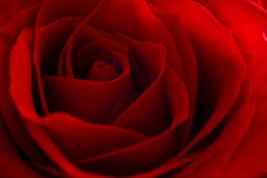 rose is red (matteotarenghi) Tags: flowers macro topf25 rose interesting nikond70 redrose myfav scout explore mybest monza bestshot sigma105 redrules interestingness48 explored i500 inexplore abigfave superaplus aplusphoto tarenghi superbmasterpiece onlythebestare cotcbestof2007 madeinexplore top30red top25red
