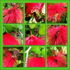 Collage of dwarf honeybees on Dwarf Powderpuff 'Red'/Calliandra emarginata