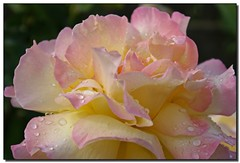 Raindrops on Roses - by Roger Lynn