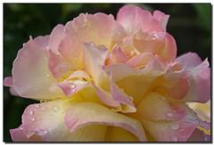 Raindrops on Roses - by Roger Lynn