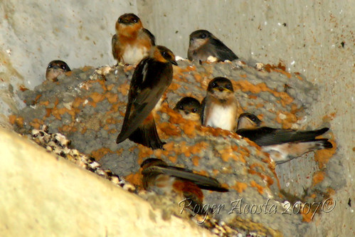 Cave Swallows (Golondrinas de Cuevas)