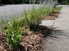 Boulevard Garden Mulched
