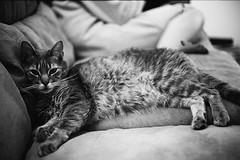 King (BrandonPhillips) Tags: bw bestofcats boc0807