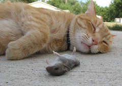 Mousing is Hard Work (sudergal) Tags: pet animal cat work fur dead mouse death rodent stevie hunting explore gross tired winner supershot aplusphoto lmaoanimalphotoaward 2ndplaceinwinnerscircle
