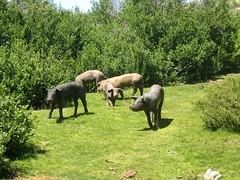 Cochons sur les pozzines du Cuscione