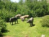 Attaque de cochons sur les pozzines des bergeries de Chiralbella