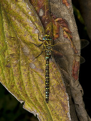 "Common Hawker Dragonfly (Aeshna junce(9) • <a style=""font-size:0.8em;"" href=""http://www.flickr.com/photos/57024565@N00/1214872771/"" target=""_blank"">View on Flickr</a>"