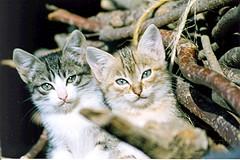Gatets / Kittens (juliol 1993) (visol) Tags: kittens gatitos gatets kissablekat bestofcats