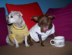 We got shirts too (TamanduaGirl) Tags: dog chihuahua pin chinese mini crested quasimoto hyzenthlay