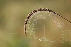 The trap is sprung (Mark Rutter) Tags: autumn web dew i120