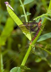 Mayfly On A Spring Day (aeschylus18917) Tags: macro nature japan insect fly nikon g micro 日本 txt saitama nikkor f28 vr hanno pxt mayfly saitamaken inset koma 105mm insecta ephemeroptera 埼玉県 105mmf28 pterygota 105mmf28gvrmicro saitamaprefecture カゲロウ d700 nikkor105mmf28gvrmicro ダニエル palaeoptera danielruyle aeschylus18917 danruyle druyle ephemeropteroidea ルール ダニエルルール 飯能市 hannō hannōshi