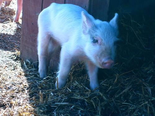 Here Piggy, Piggy, Piggy!