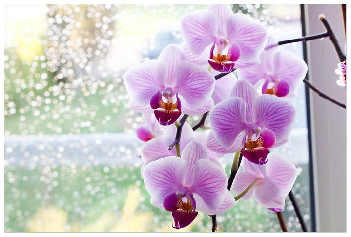 orchids aquarell