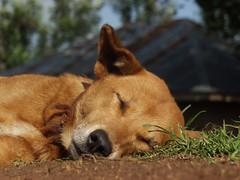 You Lazy Dog! (rogiro) Tags: sleeping dog grass view kenya earth sleep dream ground down dirt sleepy lazy tired ants boma sare awendo oyani nyanza migori