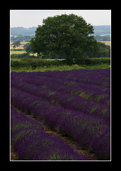 Lavender..23 June 2007 (strussler) Tags: england tree canon landscape eos countryside farm lavender sigma hampshire 5d naturesfinest selborne abigfave strussler flickrelite