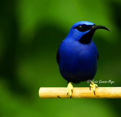 Azulejo (Jesus Guzman-Moya) Tags: blue usa naturaleza chicago bird nature animal azul interestingness dof vivid pajaro soe ogm piepmatz naturesfinest 500x500 notebaert opl supershot instantfave notebaertnaturemuseum i500 chuchogm selectedasthebest spselection abigfave jessguzmnmoya naturefinest avianexcellence diamondclassphotographer flickrdiamond somethingblueinmylife colourartaward platinumheartaward highestposition7onthursdayjune282007 artlegacy theperfectphotographer obq goldenart redmatrix