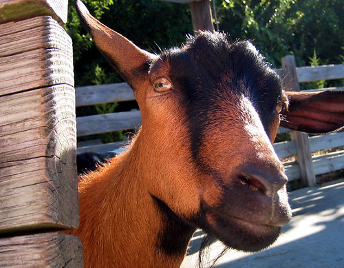 Hello ... says the goat