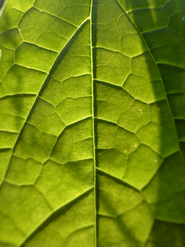 Veins of a leaf