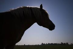 Strong and proud (Miodrag mitja Bogdanovic) Tags: blue shadow horse sun nature animal silhouette sad crest blonde novisad mane salas novi naturesfinest gorget abigfave beautifuldanube
