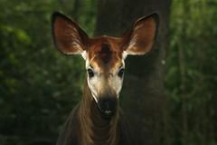 Bronx Zoo -Okapi - by NYCArthur