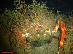 nocturna23092005028b9gv[1] (coismarbella) Tags: crustaceos
