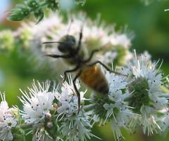 Honey bee rage